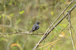 Female oriental magpie-robin Royalty Free Stock Images