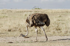 A beautiful female Ostrich, Masai Mara, Kenya Royalty Free Stock Images