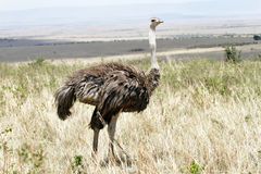 A beautiful female Ostrich, Masai Mara, Kenya Royalty Free Stock Photo