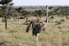 A beautiful female Ostrich in the vast grassland Stock Photos
