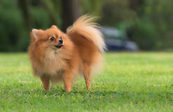 A beautiful female pomeranian dog Stock Photography