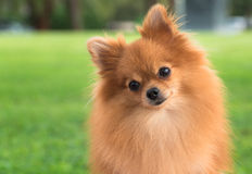A beautiful female pomeranian dog Stock Photo