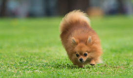 A beautiful female pomeranian dog. In a park Royalty Free Stock Photography