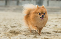 A beautiful female pomeranian dog. A female Pomeranian dog is running on the beach Royalty Free Stock Images