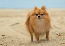 A beautiful female pomeranian dog. A female Pomeranian dog is standing on the beach Stock Images