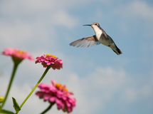 Beautiful female Ruby-throated Hummingbird Royalty Free Stock Image