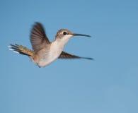 Beautiful female Ruby-throated Hummingbird in flight Stock Image
