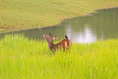 Beautiful Female Samba Deer Standing In Thai Forest Royalty Free Stock Photos