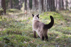 Beautiful female siamese cat walking in forest, on blurry background Royalty Free Stock Photos