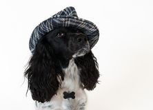 Beautiful female spaniel in a checkered hat on white background. Beautiful female spaniel in a checkered hat on a white background Stock Photos