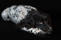 Beautiful female spaniel lies on black background Stock Photography
