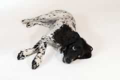 Beautiful female spaniel lies on white background. Beautiful female spaniel lies on a white background Stock Images