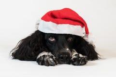 Beautiful female spaniel in a red cap of Santa Claus on white background. Beautiful female spaniel in a red cap of Santa Claus on a white background Royalty Free Stock Image