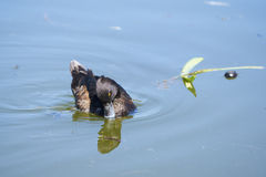 Beautiful female Tufted duck swimming on pond in park Royalty Free Stock Images