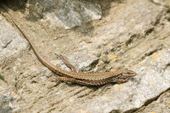 A beautiful female Wall Lizard Podarcis muralis sunning itself on a stone wall. A female Wall Lizard Podarcis muralis sunning itself on a stone wall royalty free stock photos