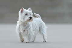 Beautiful female west highland terrier. Posing stock images