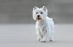 Beautiful female west highland terrier. Posing royalty free stock image