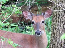 White Tailed Deer Closeup Portrait royalty free stock image