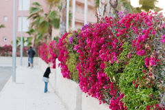Beautiful fence of purple flowers bougainvillea Stock Photo