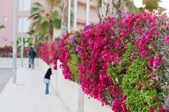 Beautiful fence of purple flowers bougainvillea Stock Photo