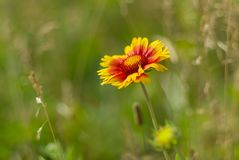 Beautiful feral Indian blanket flower Royalty Free Stock Photo