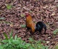 Beautiful feral rooster on Kauai, Hawaii royalty free stock photos
