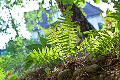 Beautiful fern in dense forest Stock Images