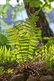 Beautiful fern in dense forest Royalty Free Stock Image