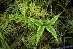 Beautiful fern on the jungle in asia. Many kind of fern has growth in asia rain forest Royalty Free Stock Photography