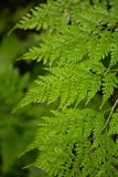 Beautiful fern leafs. Royalty Free Stock Photo