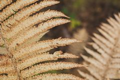 Beautiful fern leaves, yellow autumn fern leaves closeup. Natural floral background in the sun royalty free stock photo