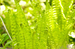 Beautiful fern macro Royalty Free Stock Photography