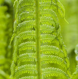 Beautiful fern at the meadow Stock Photography