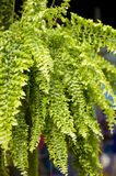 Beautiful fern plant background Royalty Free Stock Photo