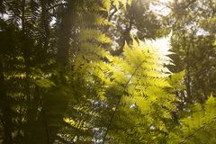 Beautiful Ferns in the forest and sunshine Australia nice. Beautiful Ferns in the forest and sunshine Australia Stock Image