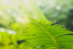 Fresh green fern leaves in forest. royalty free stock photography
