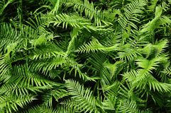 Beautyful ferns leaves green foliage natural floral fern background in sunlight. royalty free stock photography