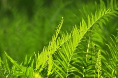 Beautiful ferns leaves green foliage natural floral fern background in sunlight. royalty free stock photo