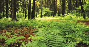 Beautiful Ferns Leaves Green Foliage In Summer Coniferous Forest. Green Fern Bushes Between Woods, Trees. Beautiful Ferns Leaves Green Foliage In Summer stock video footage