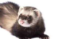 Beautiful ferret Royalty Free Stock Photos