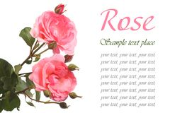 Beautiful festive greeting card with pink roses Stock Photo