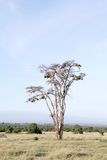 A beautiful fever tree and clusters of weaver bird nests Royalty Free Stock Photo