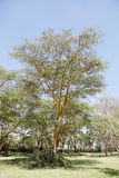 A beautiful fever tree in kenya Stock Photos