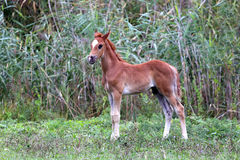 Beautiful few weeks old arabian colt grazing summer pasture Stock Images