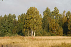 Beautiful field. With a turning yellow autumn by a grass and birch wood in the background Stock Photography