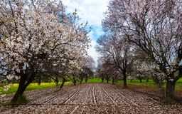 Beautiful field with almond trees full of white blossoms in spri. Beautiful field with almond trees full of white blossoms of flowers in the ground, early in Royalty Free Stock Image