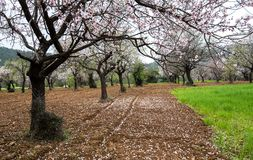 Beautiful field with almond trees full of white blossoms in spri. Beautiful field with almond trees full of white blossoms flowers in the ground, early in spring Stock Photos