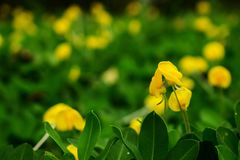 Beautiful Field. Of Blooming Yellow Pinto Bean Flower on The Ground Royalty Free Stock Photography