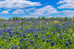 A Beautiful Field Blanketed with the Famous Texas Bluebonnet (Lupinus texensis) Wildflowers. Royalty Free Stock Photography