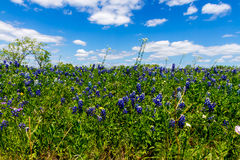 A Beautiful Field Blanketed with the Famous Texas Bluebonnet (Lupinus texensis) Wildflowers. Stock Photos